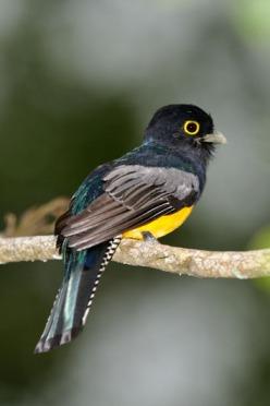 Guianan Trogon (Trogon violaceus) Reinier Munguia