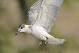 Whiskered Tern (Chlidonias hybrida) by W Kwong