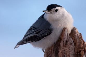 White-breasted Nuthatch (Sitta carolinensis) by Matt Wagner
