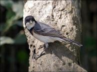 White-breasted Whistler (Pachycephala lanioides) by Ian