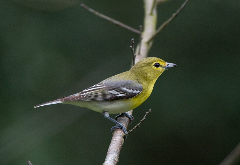 Yellow-throated Vireo (Vireo flavifrons) by Anthony 747