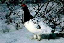 WillowPtarmigan(Lagopuslagopus)©USFWS