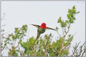 Anna's Hummingbird by Dave's BirdingPix