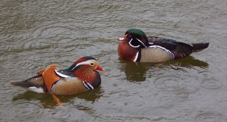 Wood Duck and Mandarin Duck
