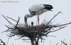 Asian Openbill (Anastomus oscitans) on nest by Nikhil