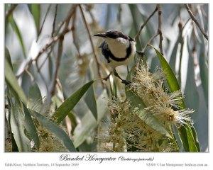 Banded Honeyeater(Cissomela pectoralis) by Ian