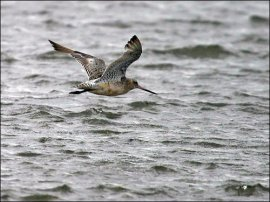 Bar-tailed Godwit (Limosa lapponica) by Ian