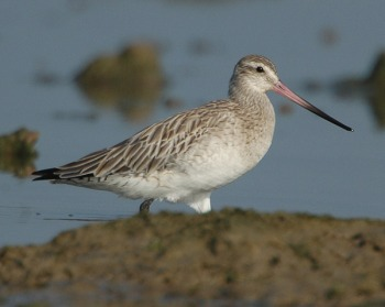 Bar-tailed Godwit (Limosa lapponica) by Nikhil Devasar