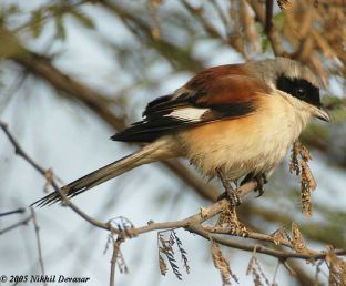 Bay-backed Shrike (Lanius vittatus) by Nikhil Devasa