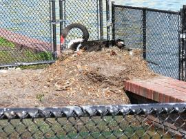 Black Swan nest at Lake Morton