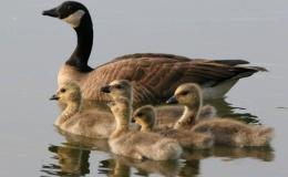 Geese – CreationMoments