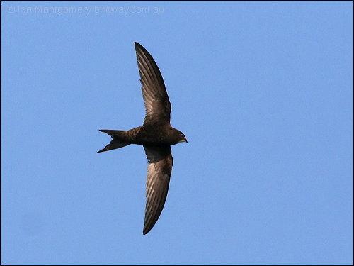 Common Swift (Apus apus) by Ian