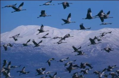 Crane Migration over Israel