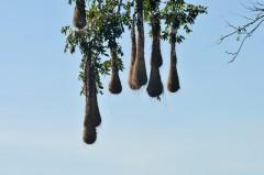 Crested Oropendola (Psarocolius decumanus) nests by Bob-Nan