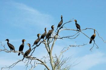 Double-crested Cormorant (Phalacrocorax auritus) at Lake John Rookery, Lakeland, FL By Dan