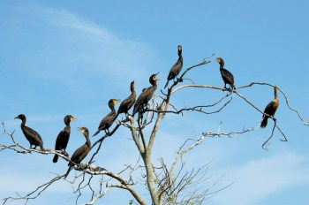 Double-crested Cormorant (Phalacrocorax auritus) at Lake John Rookery, Lakeland, FL By Dan