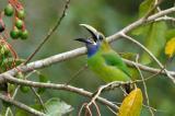 Emerald Toucanet (Aulacorhynchus prasinus) by Reinier Munguia