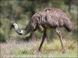 Emu (Dromaiusnovaehollandiae) by Ian