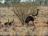 Emu (Dromaiusnovaehollandiae) with chicks by Ian