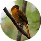 Golden Bowerbird (Prionodura newtoniana) by Ian