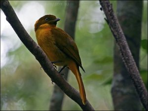 Golden Bowerbird (Prionodura newtoniana) by Ian