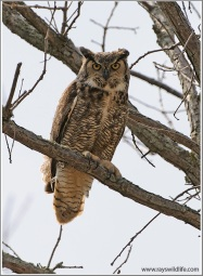 Great Horned Owl (Bubo virginianus) by Ray