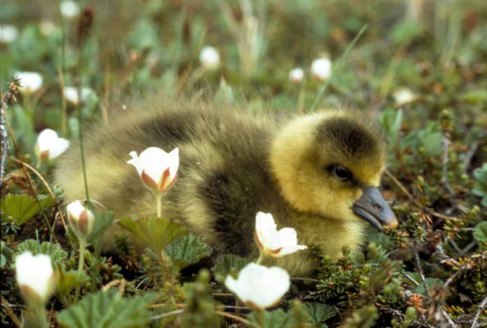 Greater White-fronted Goose (Anser albifrons) chick ©USFWS