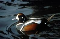 Harlequin Duck (Histrionicus histrionicus) ©USFWS