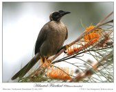 Helmeted Friarbird (Philemon buceroides) by Ian