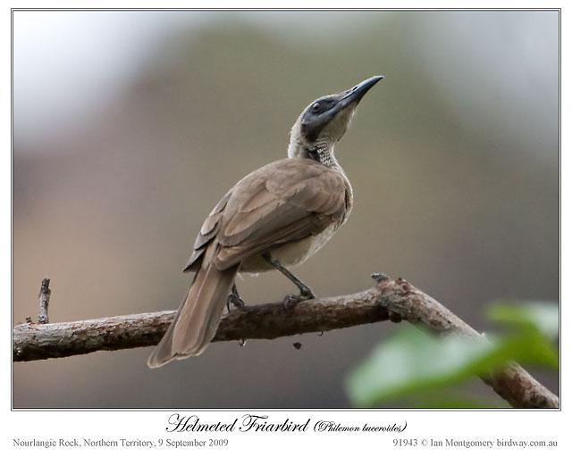 Helmeted Friarbird (Philemon buceroides) by Ian