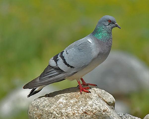 Отряд голуби. Род голубь. Скалистый голубь.