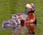 Horned Grebe (Podiceps auritus) w young ©USFWS