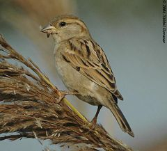 House Sparrow (Passer domesticus) by Nikhil Devasar