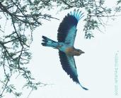 Indian Roller (Coracias benghalensis) by Nikhil Devasar