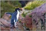 Macaroni Penguin (Eudyptes chrysolophus) BirdingPix