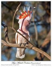 Major-Mitchells Cockatoo by Ian