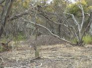 Malleefowl (Leipoa ocellata) Mound by Wikipedia