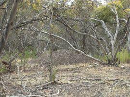 Malleefowl (Leipoa ocellata) Mound by Wikipedia