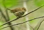 Ovenbird (Seiurus aurocapillus) by Kent Nickell