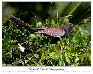Pheasant Coucal(Centropus phasianinus) by Ian.jpg