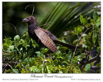 Pheasant Coucal(Centropus phasianinus) by Ian