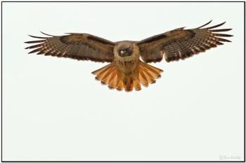 Red-tailed Hawk (Buteo jamaicensis) by Daves BirdingPix
