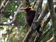 Regent Bowerbird (Sericulus chrysocephalus) by Ian