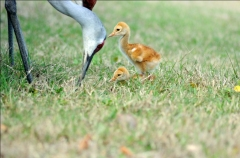 "Sandhill Crane ""colts"""