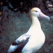 Short-tailed Albatross (Phoebastria albatrus) ©USFWS