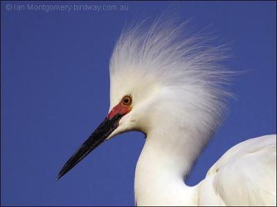 Snowy Egret by Ian