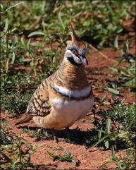 Spinifex Pigeon by Ian