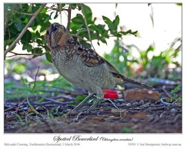 Spotted Bowerbird (Chlamydera maculata) by Ian