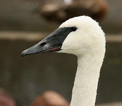 Trumpeter Swan (Cygnus buccinator) by Kent Nickel