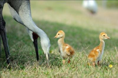 "Sandhill Cranes ""Colts"" and parents by Lee"